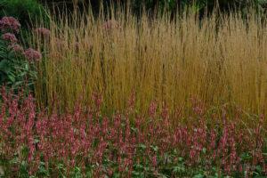 Calamagrostis Waldenbuch