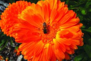 Calendula&hoverfly