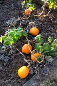 Pumpkin 'Evergold'