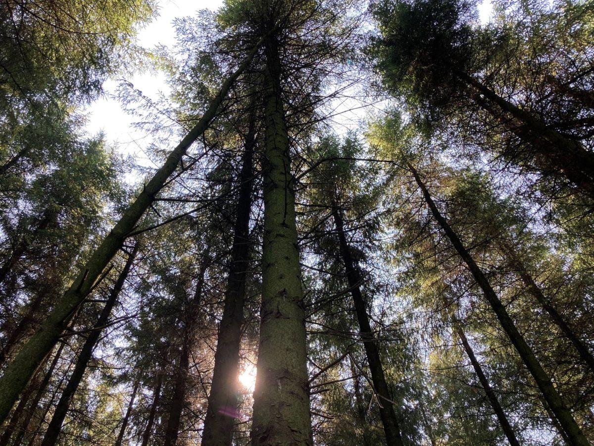 Tree tops from below