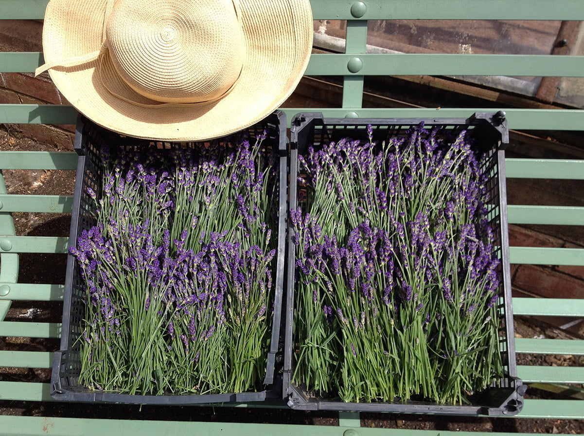 bunches of cut lavender on bench
