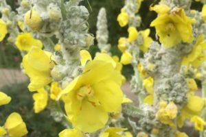 Verbascum bombiciferum