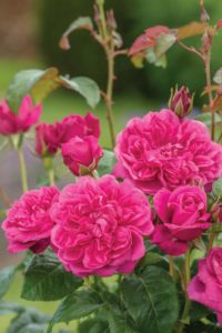 New rose from David Austin 'James L Austin'