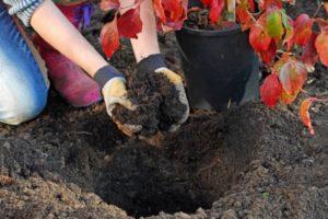 add fertiliser to planting hole