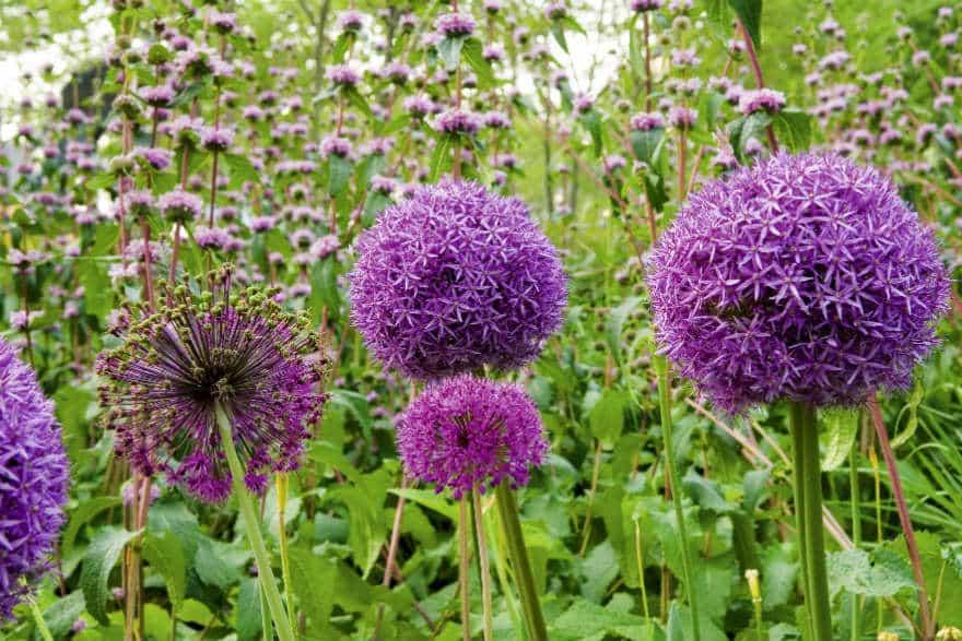 Alliums