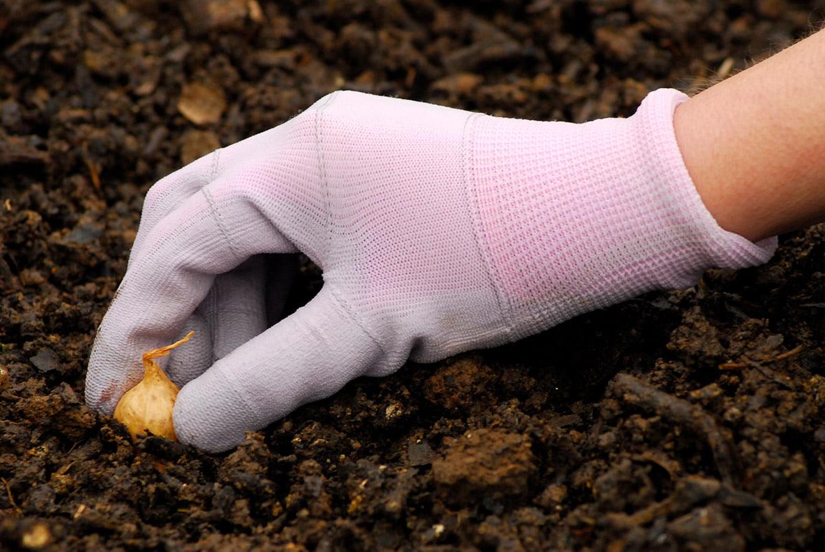 planting onion bulb