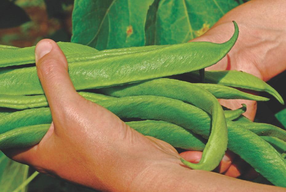 hand holding green runner beans
