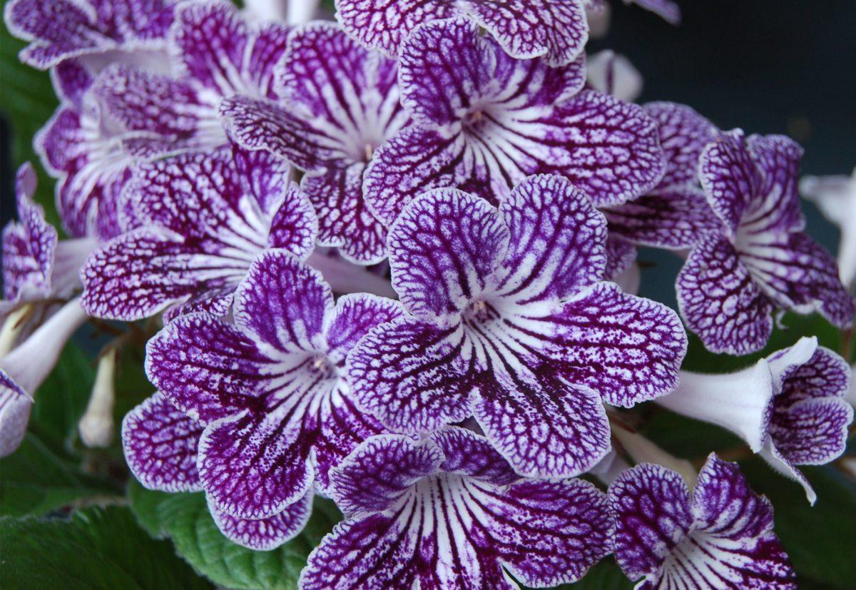 Purple and white streptocarpus