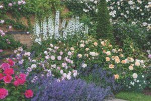 Olivia Rose Austin (Ausmixture) & The Lady Gardener (Ausbrass) with Delphiniums 'Galahad' & Nepeta 'Kit Kat'