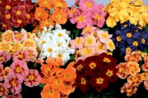 Polyanthus Pacific Giant