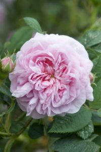 Rosa 'Queen of Denmark'