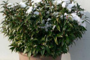 Sarcococca 'Winter Gem'