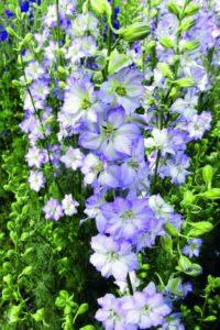 Larkspur Fancy Purple Picotee