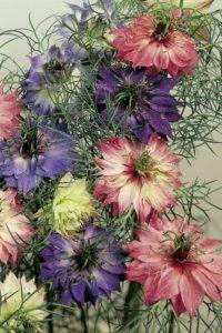 Nigella flowering