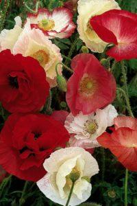 Poppies in flower