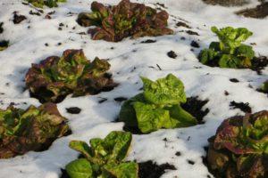 Lettuce in snow