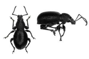 vine weevil beetle