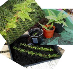 fern propagation