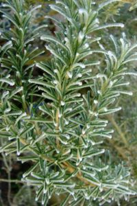 Frosted rosemary
