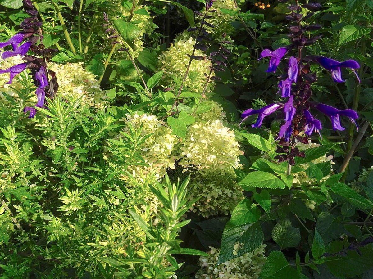 purple salvia and white hydrangea flowers