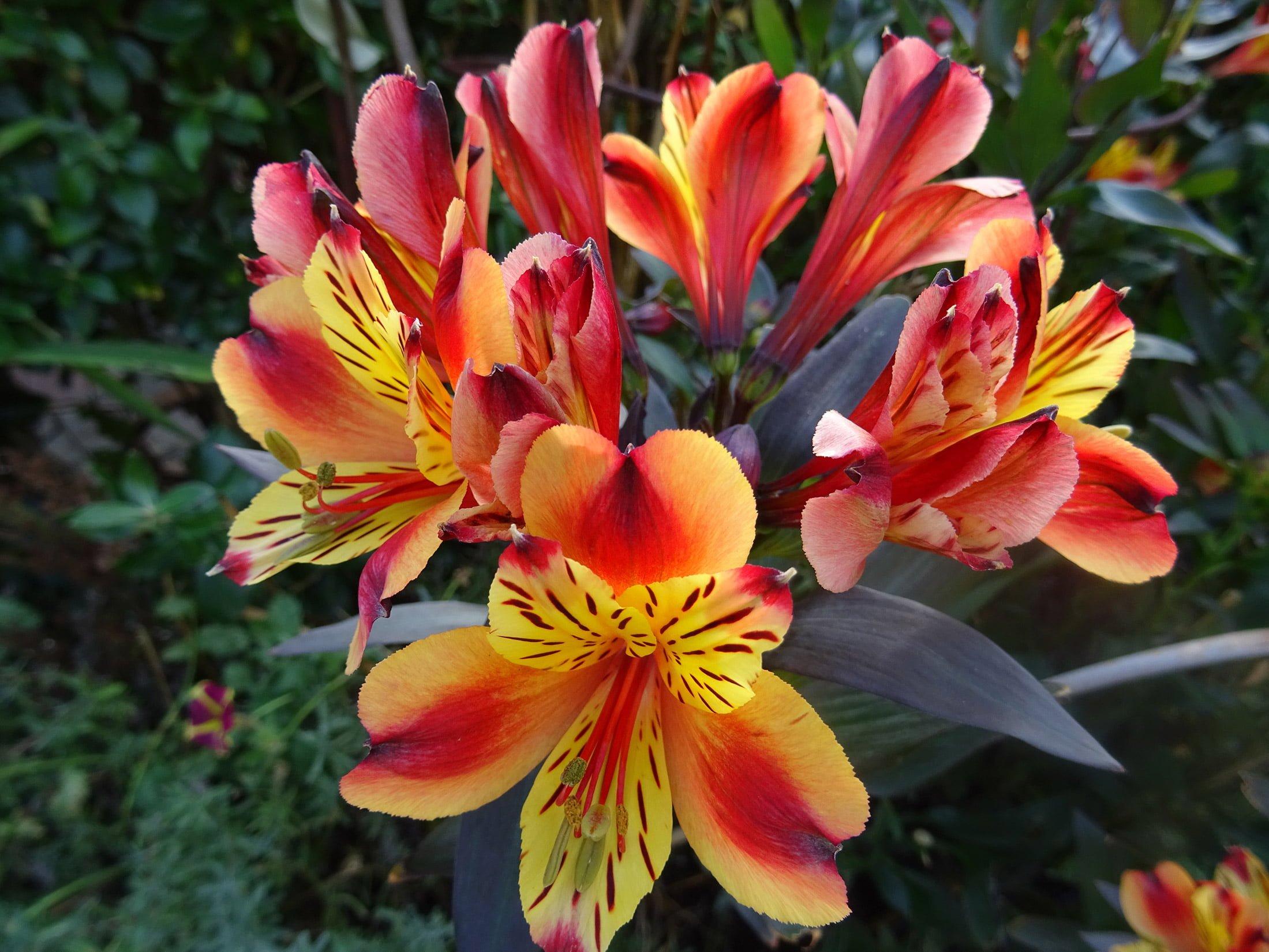 Alstroemeria 'Indian Summer'