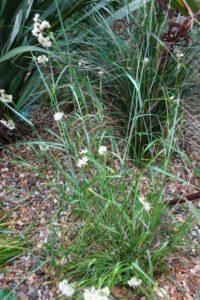 Luzula nivea 'Snowy Woodrush'
