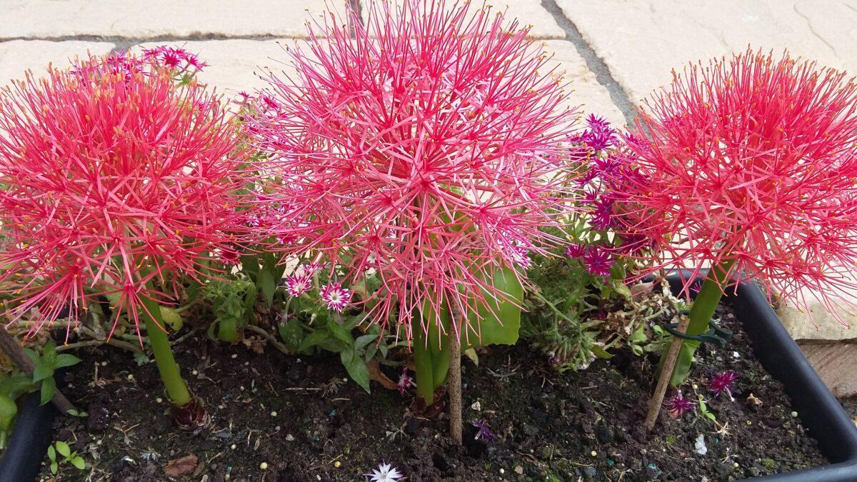 pink sunburst begonia flowers