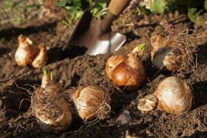 Planting spring bulbs