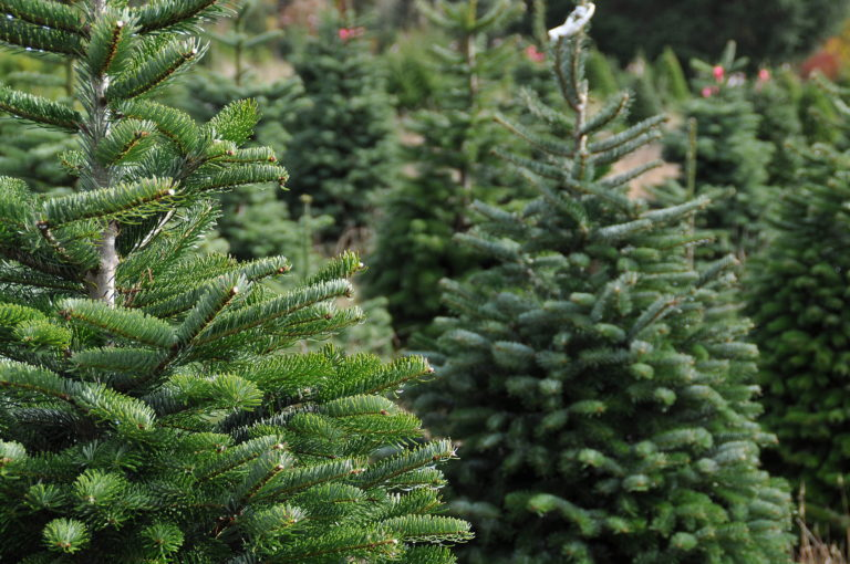 Nordmann Firs growing on farm