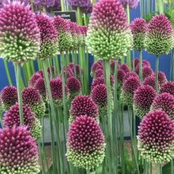 drumstick alliums on show stand