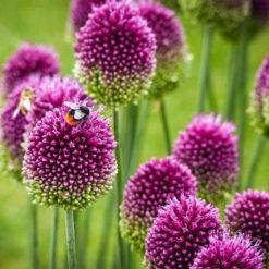bee on purple and green drumstick allium flowers