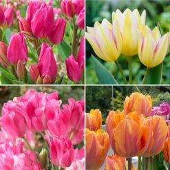 pink, yellow & orange tulips
