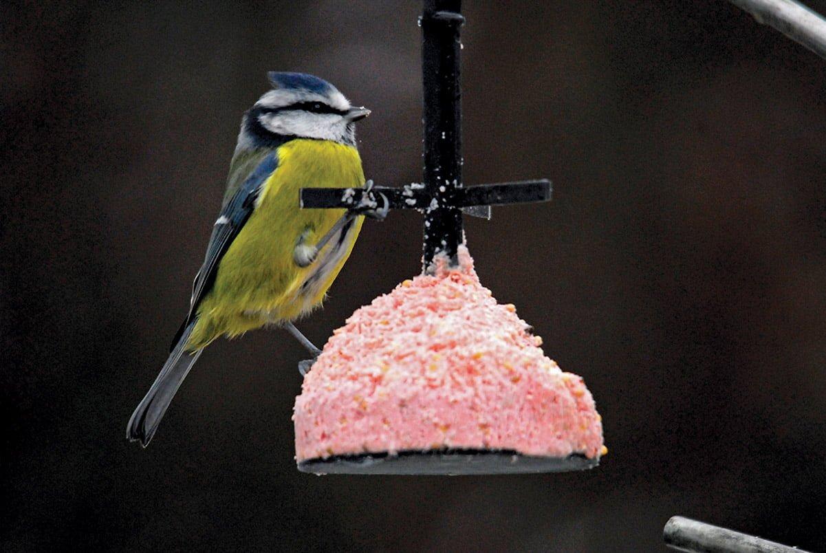 blue tit on half-eaten hanging suet feeder