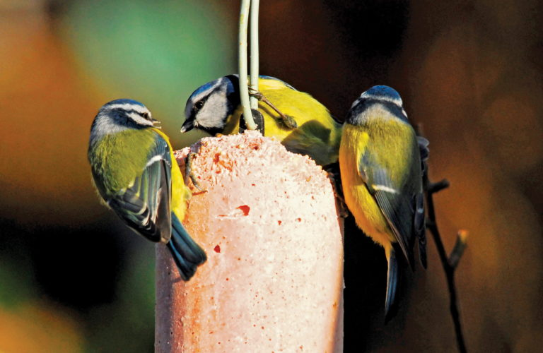 three blue tits on top of hanging suet feeder