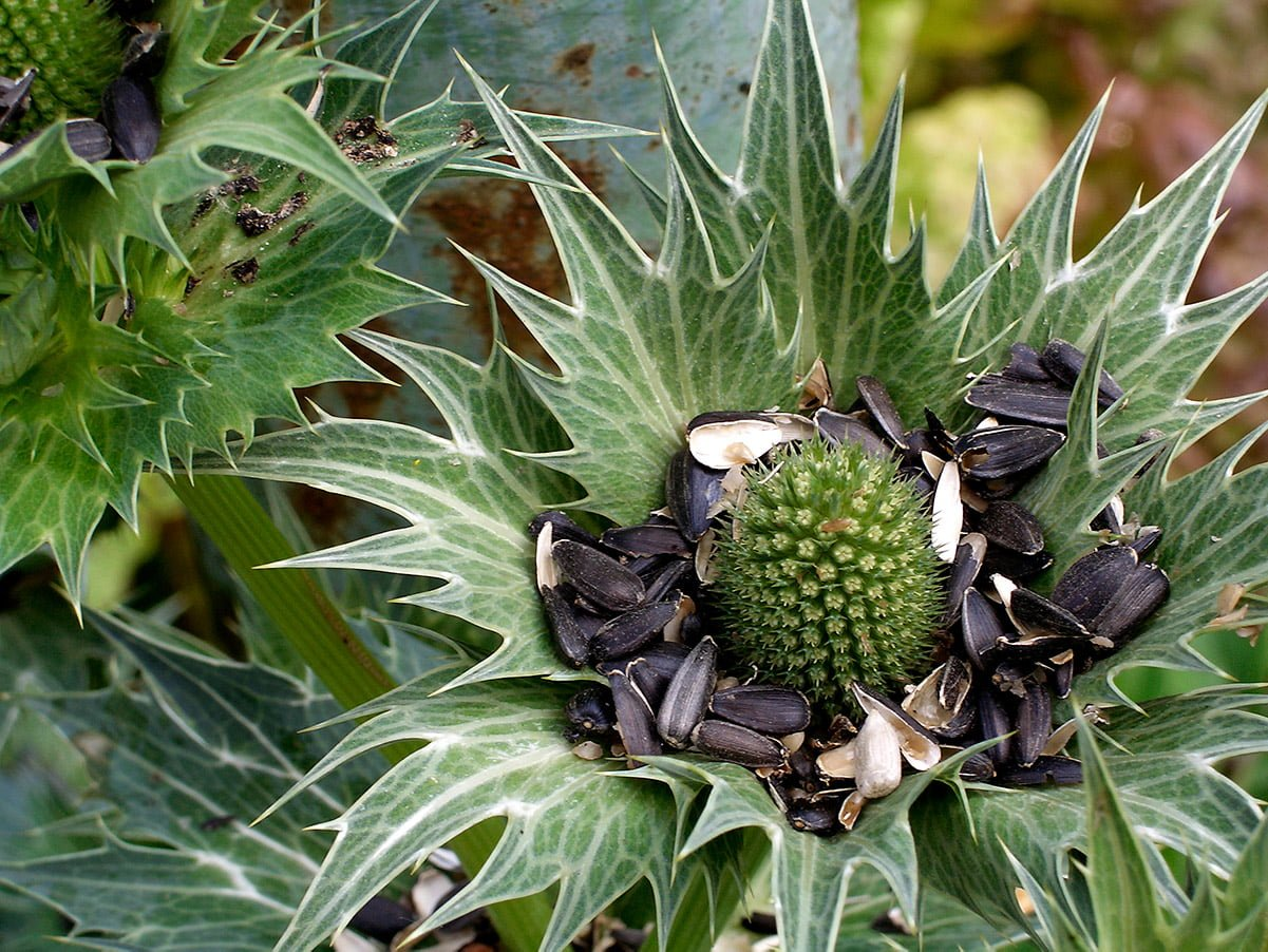 birdseed in open flower head of eryngium