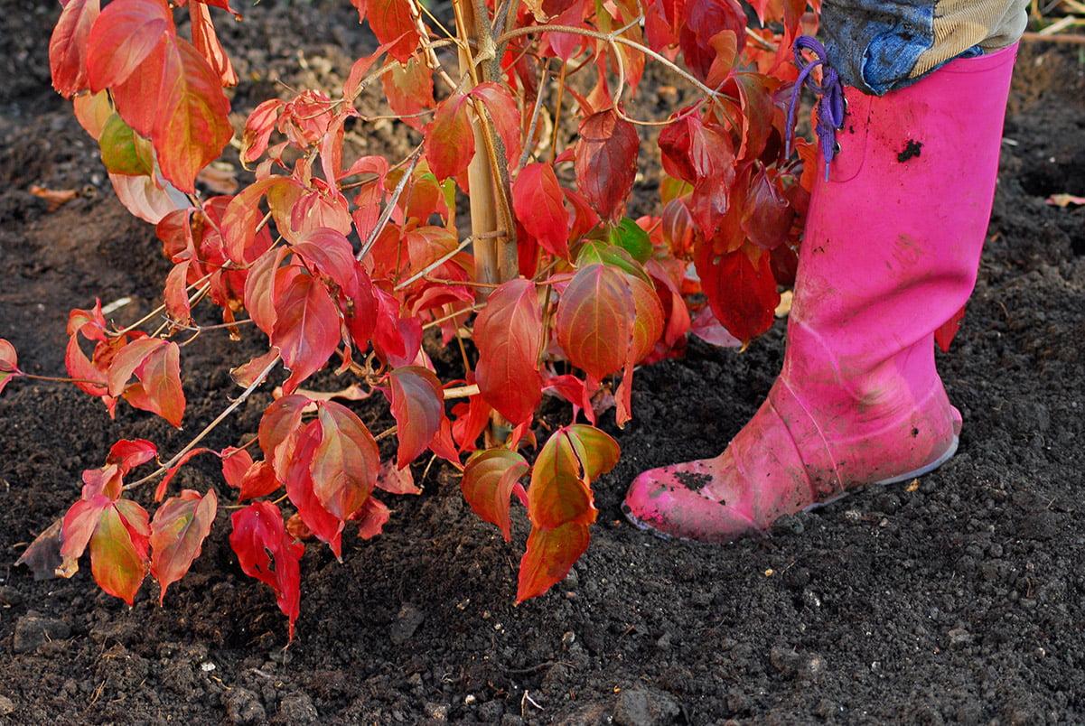 firming in around freshly planted shrub