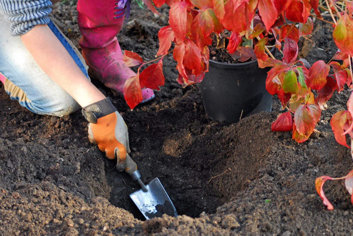 loosening base of planting hole with trowel