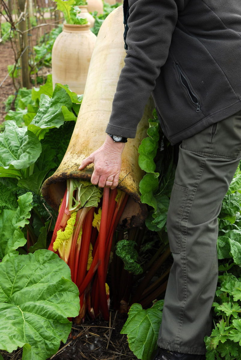 forcing timperley early rhubarb
