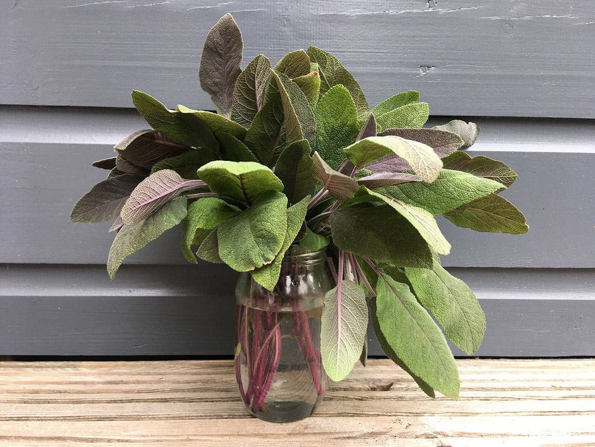 sage leaves in jar of water