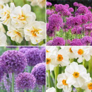 white yellow narcissi and purple alliums