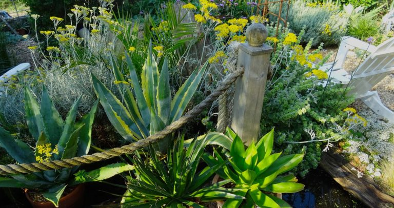 agaves in coastal garden
