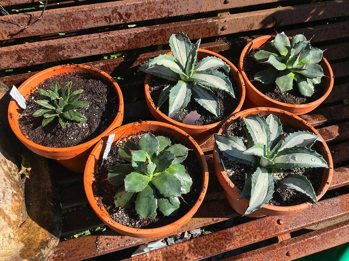 small agaves in pots