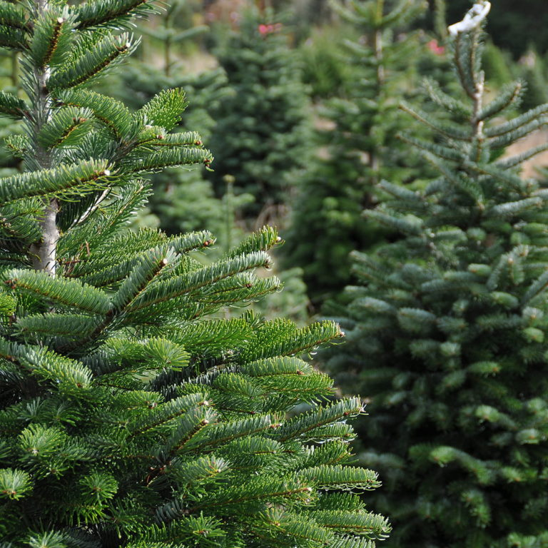 Christmas Trees available to order for delivery