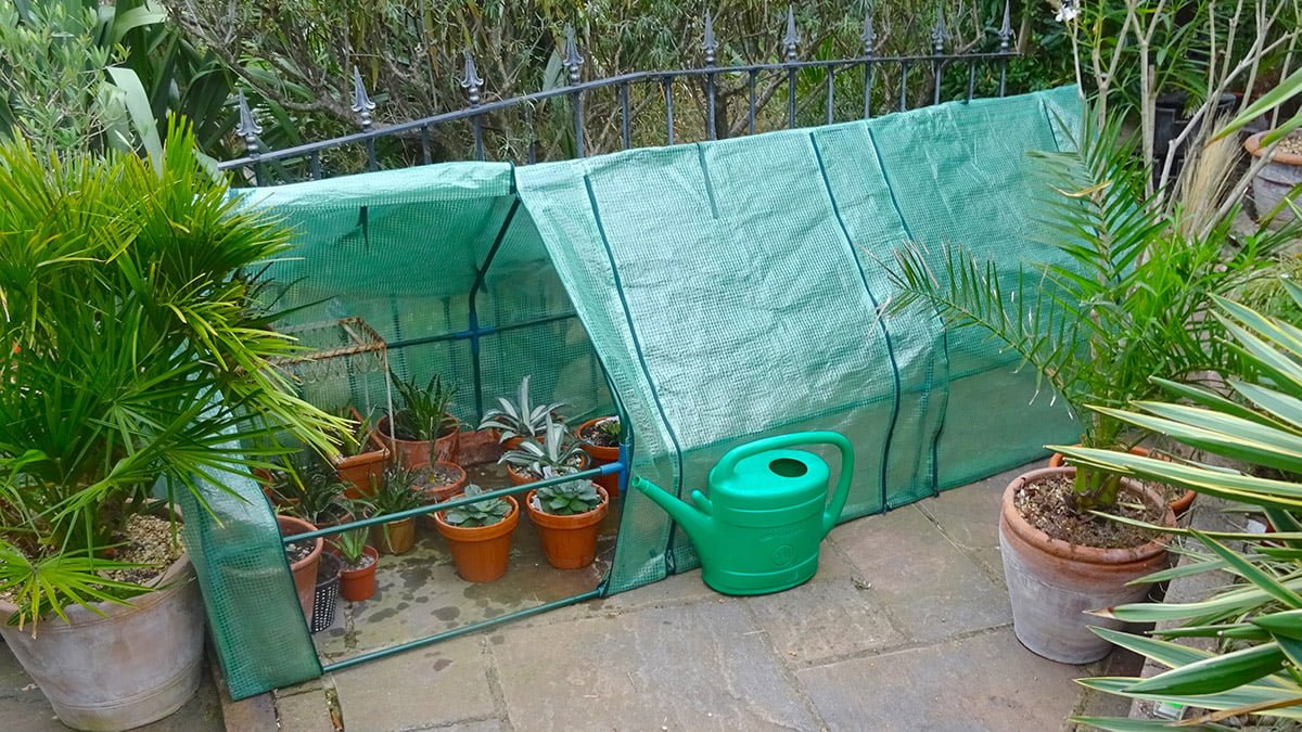 agaves in poly tunnel