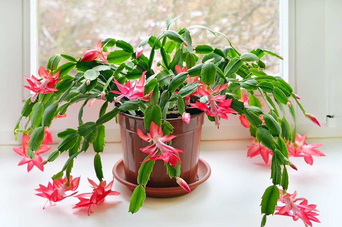 Christmas cactus in pot on windowsill