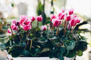 pink cyclamen houseplant