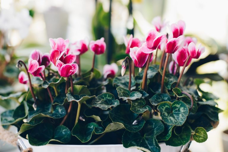 pink cyclamen houseplant