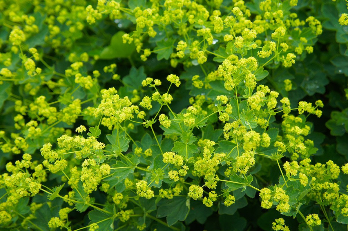 Lady's Mantle plant with acid green flowers