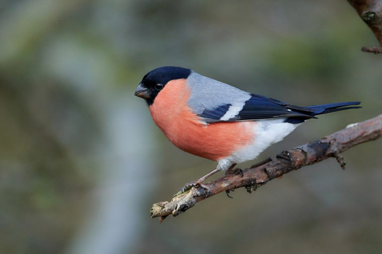 Eurasian bullfinch on branch
