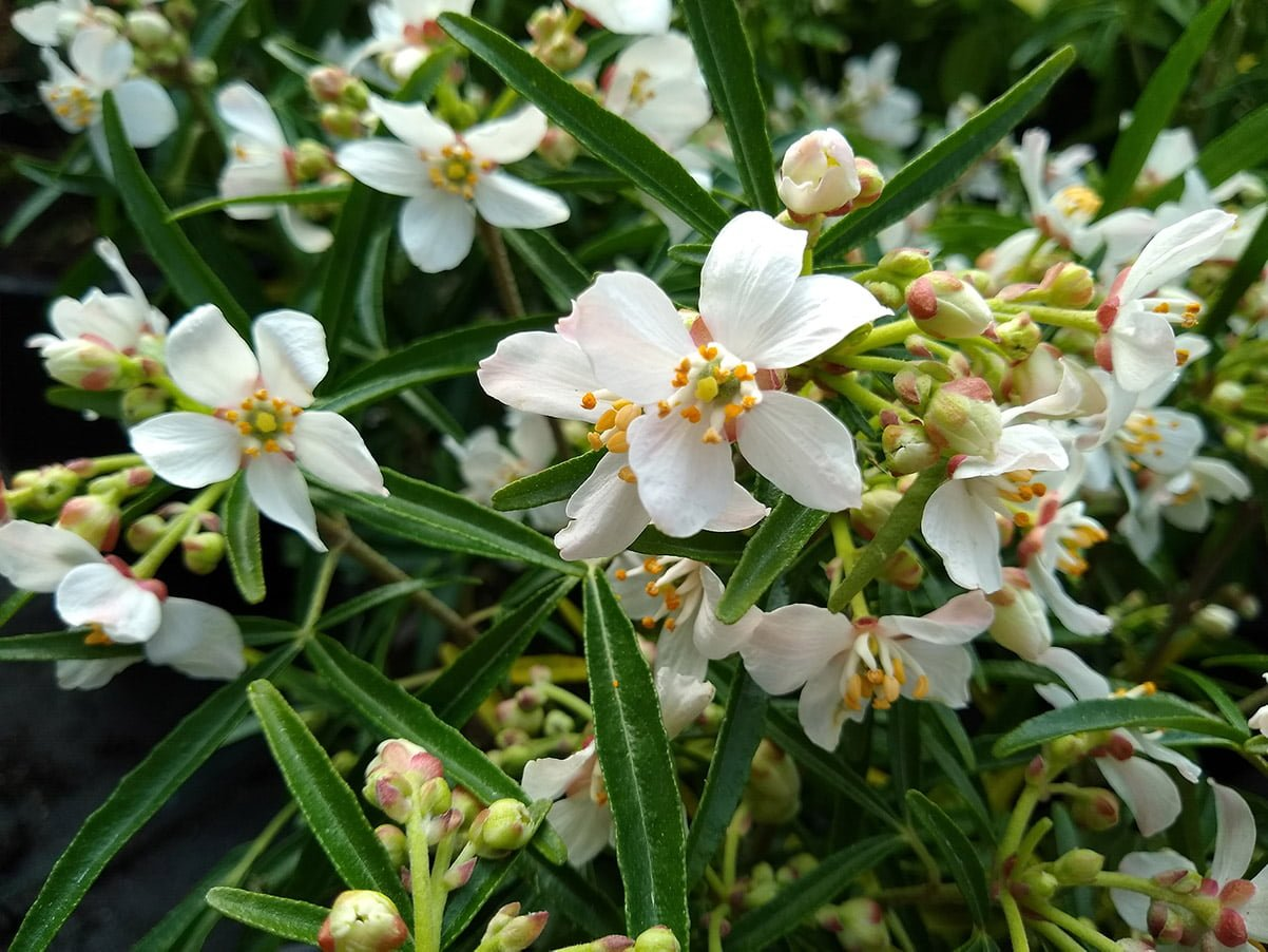 Mexican Orange Blossom with white and yellow flowers